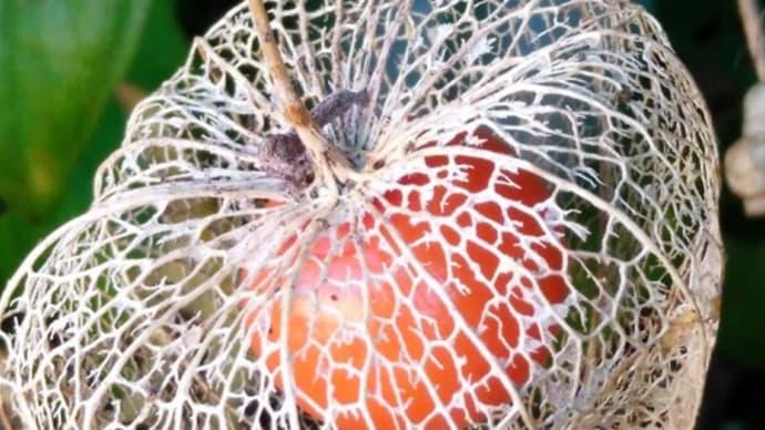 これ 面白いな。  【 赤い実が 網に包まれ 宇宙船 】ほうづき川柳