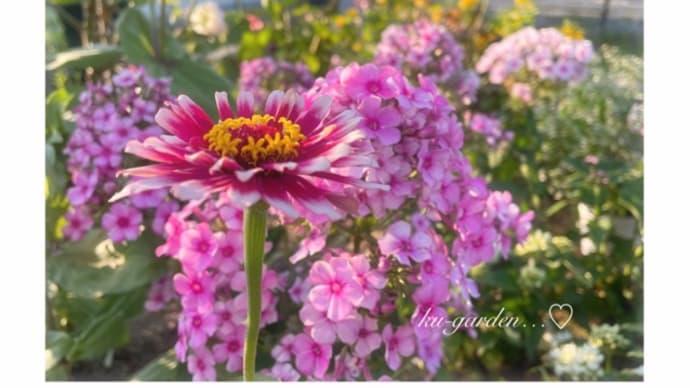 ピンクのお花と待機苗 植えなくっちゃ