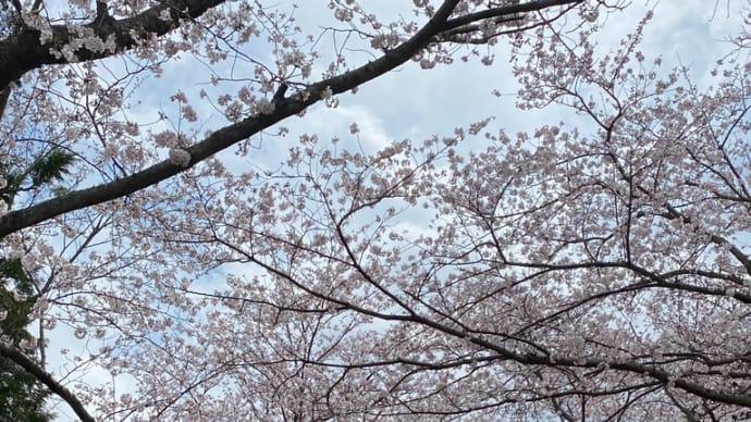 花・桜(長勝寺)