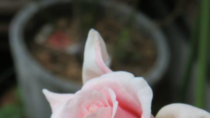 さあ冬だ!薔薇を接ぎ木しよう!