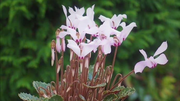開花中の山野草・・・秋咲の原種シクラメンが咲いています。