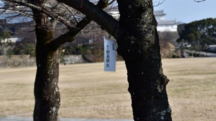 姫路城 桜の開花基準木