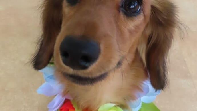 新入犬のミニチュアダックスフンドの【くるみちゃん】 犬のしつけ教室@アロハドギー