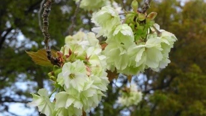 珍しめの桜、2種