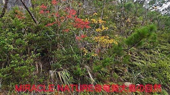 奄美大島の紅葉(黄葉)