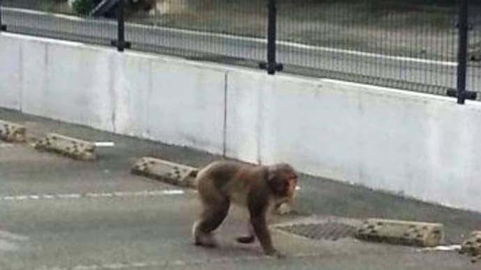 猿騒動とウオーキング