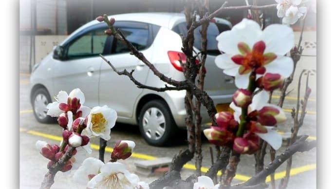 盆栽の梅が開花