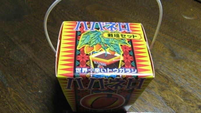 ハバネロ栽培セットを買ったよ