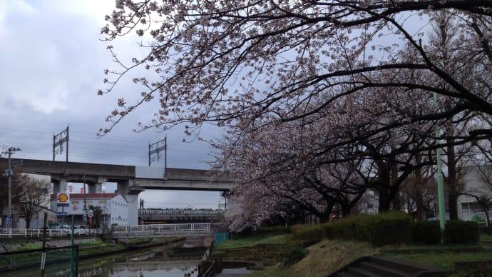 ウオーキング:栗の木川 桜