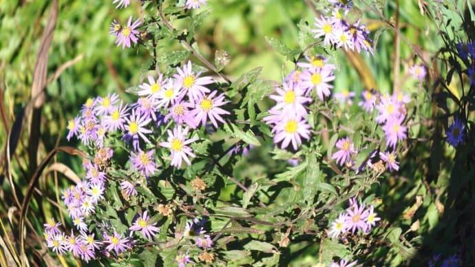 薄い紫色がかった紫苑