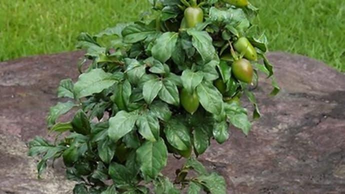 実物盆栽も入荷