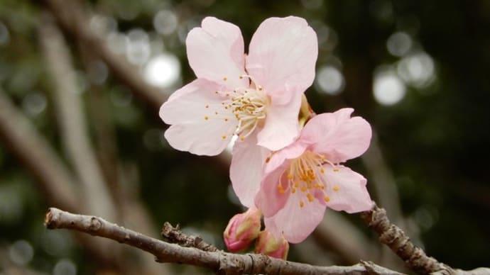 砂沼遊歩道の河津桜や水鳥、モリーの花。