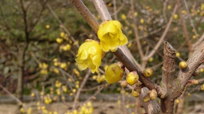 蝋梅と冬桜がほぼ満開