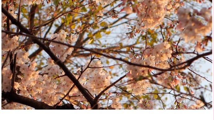 見上げる夕桜