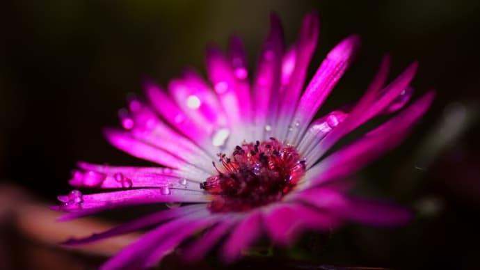 ●我が家の5月の花(4) リビングストーンデージー アオジソ、リーフレタス、豆苗