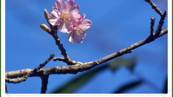 サクラ・・・咲き始めました