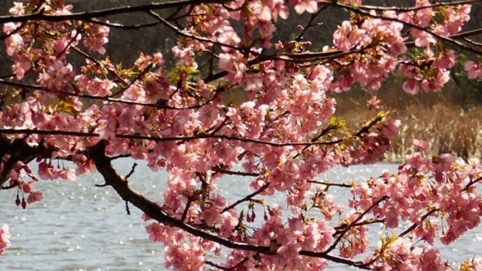 #7574 三浦海岸の河津桜 Ⅱ