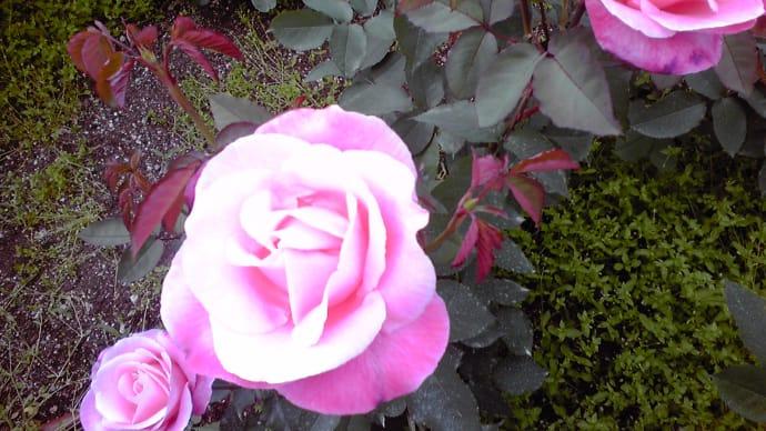 ☆薔薇の笑顔