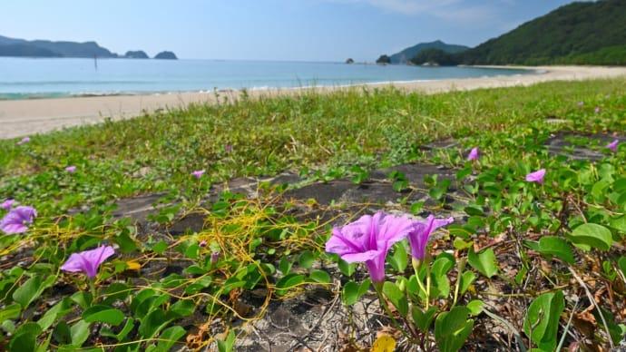 亜熱帯性植物_グンバイヒルガオ 自生の 下阿蘇海岸 ~ 残念 お花は終盤期でした。