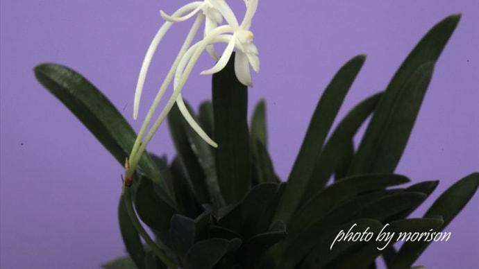フウラン「山採り鑢葉」の花