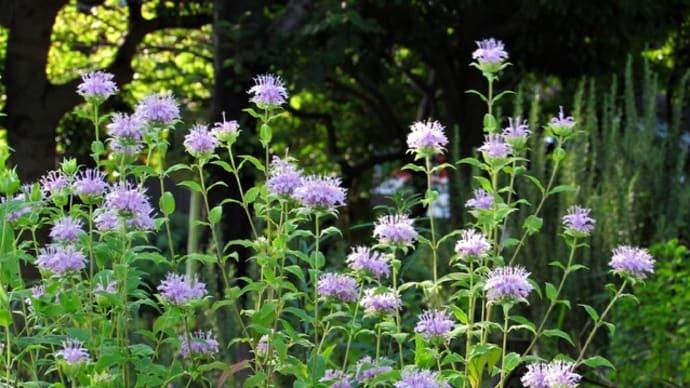 ヤグルマハッカ(矢車薄荷) / ホウセンカ(鳳仙花、指染草)の花散歩