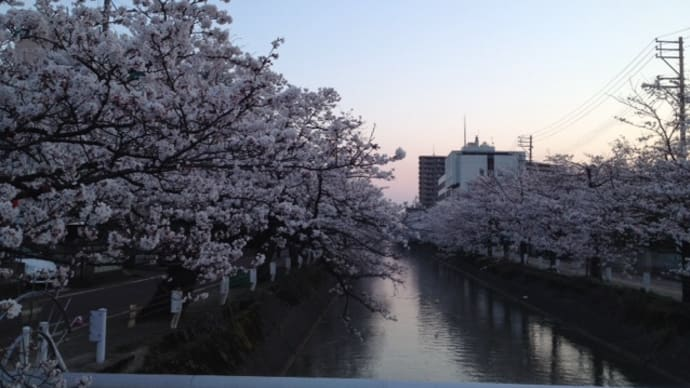 福島江の桜満開:ウオーキング
