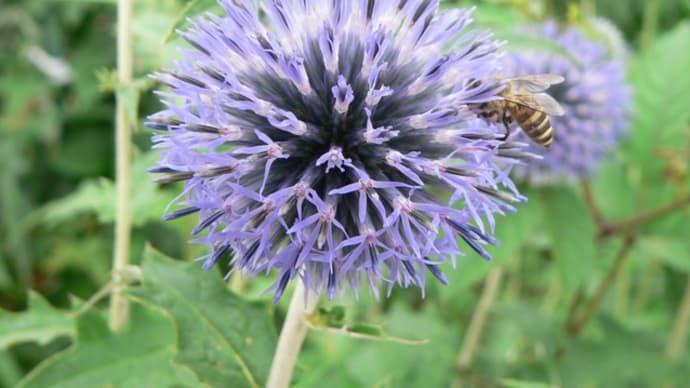 夏の花17:ルリタマアザミ