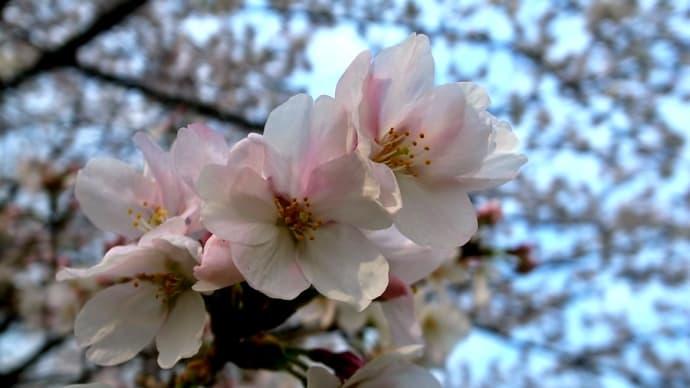 自宅前に咲くサクラ