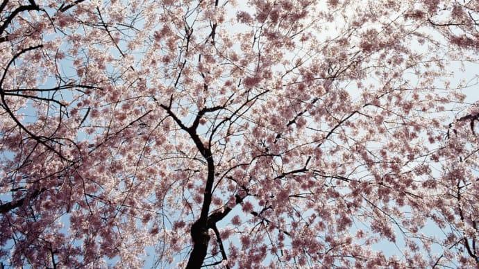 桜の開花予想!?