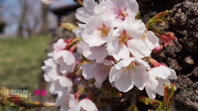 圧倒的桜。平成FINAL