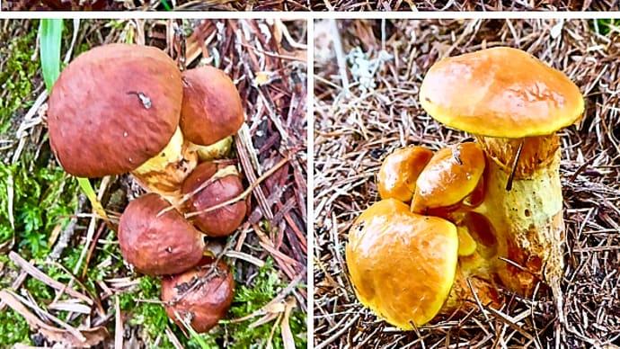 秋分の日を過ぎて急に気温が下がり、ようやくハナイグチ大発生の兆しが