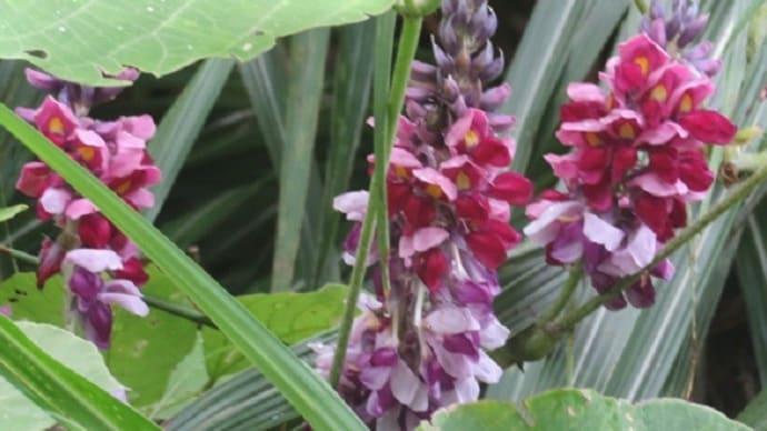 楽書き雑記「逞しいクズが咲かせる花」