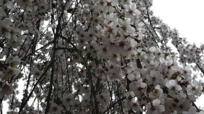 唯信寺しだれ桜