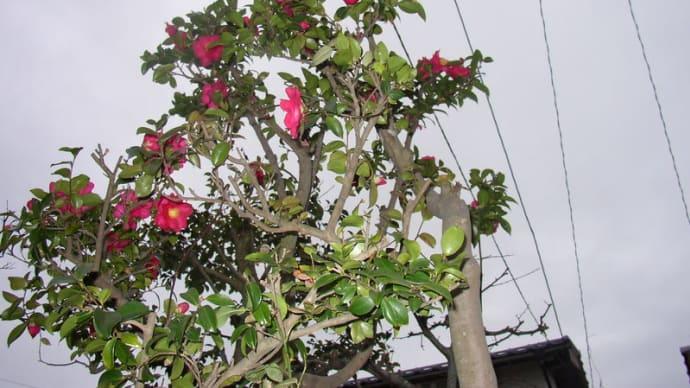 今年も、きれいな山茶花が咲きました