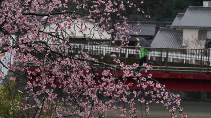 河津桜と傘の花
