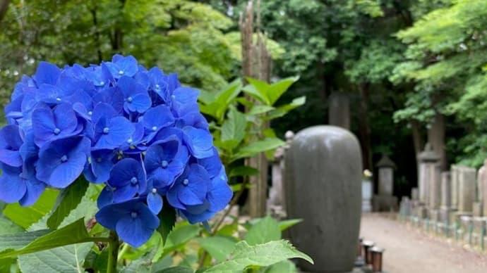千葉県松戸市 本土寺 紫陽花の名所だけあって、いたるところに紫陽花が咲き誇る。