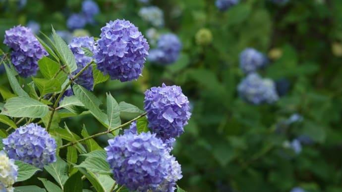 紫陽花 ~楽園は森のなか~