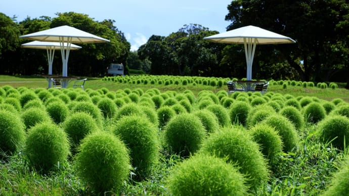 緑のコキアのある風景