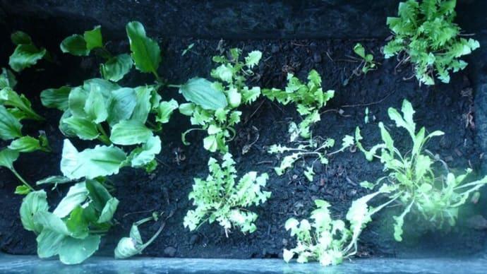 自家栽培のノゲシとタンポポ