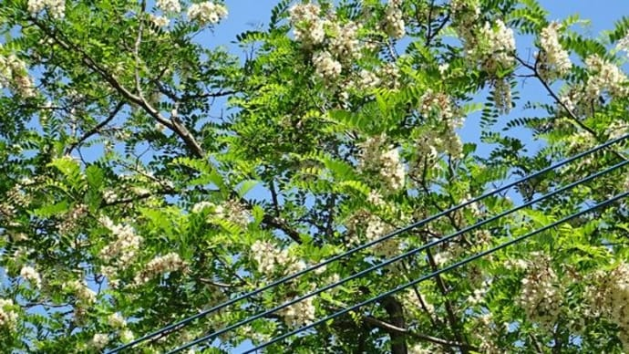 ニセアカシアの花