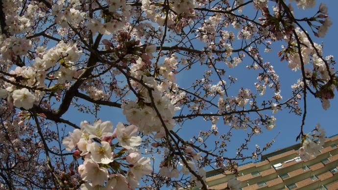 令和は、桜と共に始まった