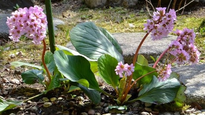 庭で咲くヒマラヤユキノシタ