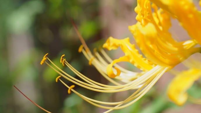 ●我が家の9月の花(5) 最後の黄色い彼岸花 サンドリーム ヤブラン シュウメイギク