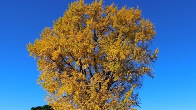 巨木の大銀杏の根元には黄色の絨毯が敷き詰められてるようです
