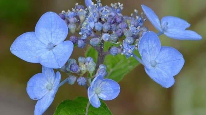 ヤマアジサイの花(7)「天の川」