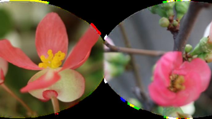 2 / 15 めぐり~木立ベゴニア&ボケ