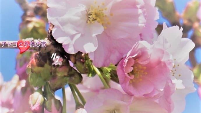圧倒的桜。2017