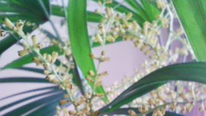 観音竹の花