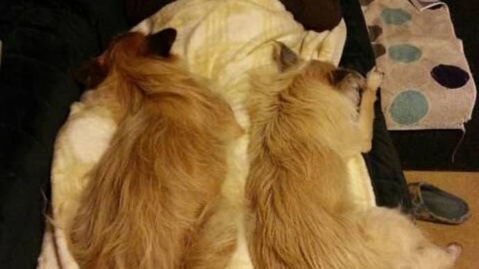 妻視点の犬毛布、そして恵方巻