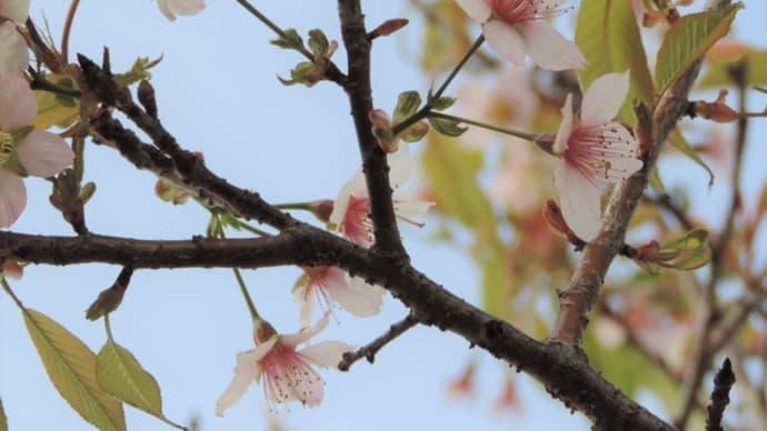 ヒマラヤザクラ - 愛知県知多郡